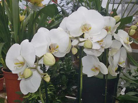 come si curano le orchidee in vaso piante orchidee pin by zuzana drabova on orchid piante