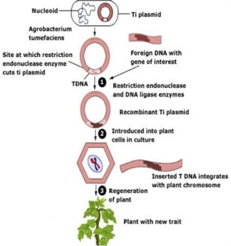 Modified Organism Definition by Genetically Modified Foods Made By Recombinant Dna