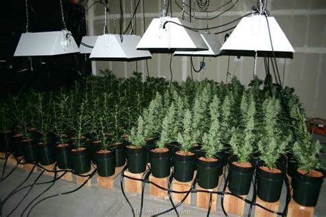 Green Light Grow Room by Autoflowering Cannabis Seeds