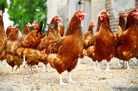 how to raise backyard chickens for eggs learn how to start raising chickens for eggs