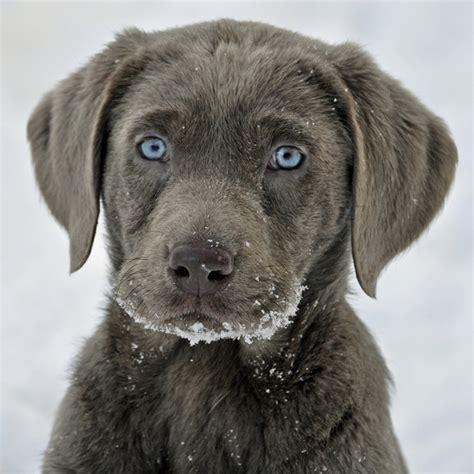 gray golden retriever puppies silver labrador retriever puppy dogs silver labs silver