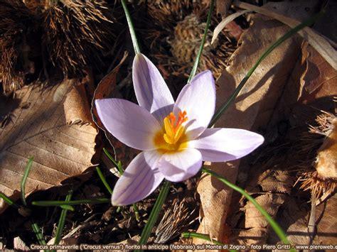 fiori di montagna primaverili fiori primaverili di bosco e prato in valle brembana 1