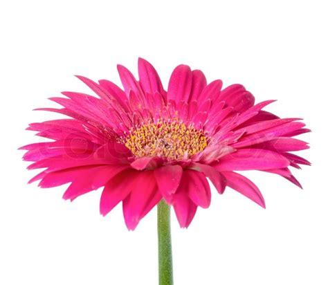 Rosa Blumen by Gro 223 E Rosa Blume Gerbera Der Stiel Ist Isoliert Auf Wei 223 Em