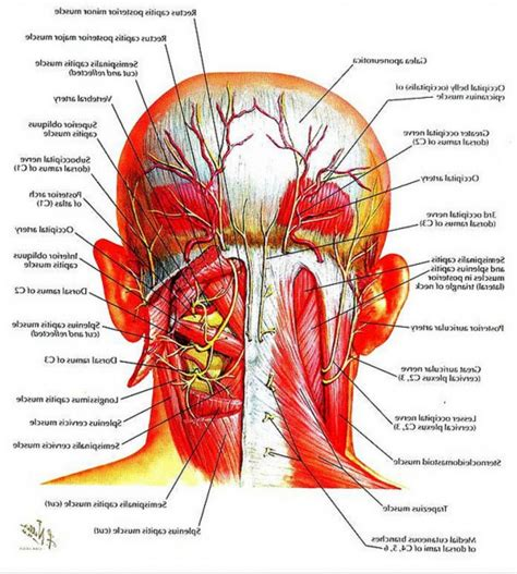 the anatomy of a anatomy of head and neck muscles human anatomy diagram