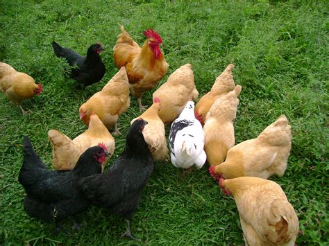Best Backyard Chickens For Eggs Choosing A Chicken Breed For Your Small Farm