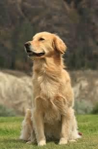 is a golden retriever right for me best 25 golden retrievers ideas on golden retriever puppies retriever