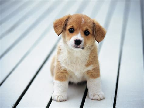 Where Can I Sell My Phone For The Most Money by So Cute Puppies Wallpaper 14749028 Fanpop