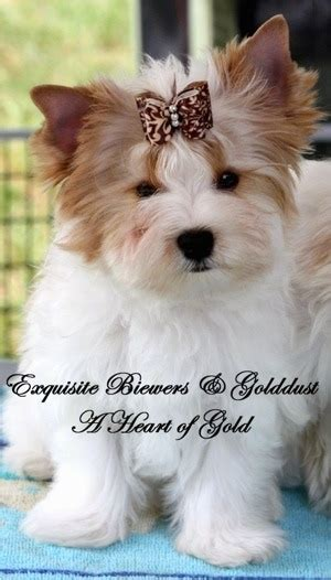 golddust yorkie golddust terrier breed information and pictures
