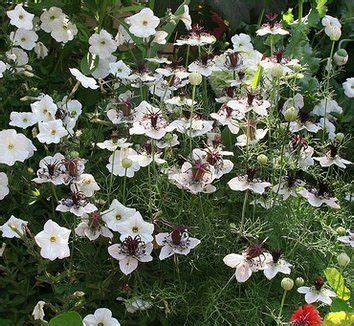 Iv Kartika Bergo Flower Brown 35 best images about plants for brown border on tea gifts delphiniums and fennel