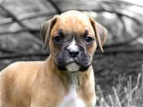 can pugs get bloat miniature boxer puppies lovetoknow
