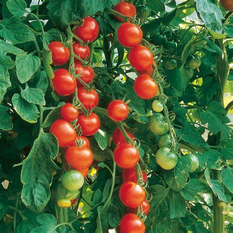Bibit Tomat Green Emerald 1 tomato seeds gardener s delight dobies