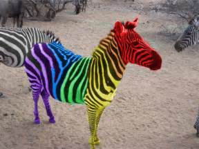 what color is a zebra rainbow zebra color splash by maliceumbra on deviantart