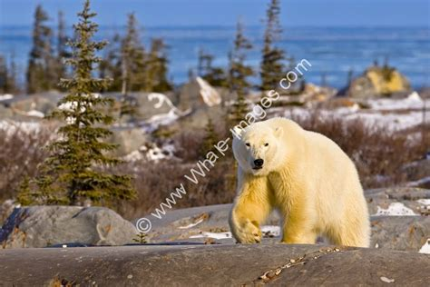 Landscape Pictures With Animals Canadian Animal Polar Landscape Churchill