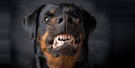 rottweiler angry how to make your rottweiler angry by order