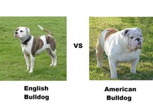 american pitbull terrier x french bulldog fat american bulldog puppies images amp pictures becuo