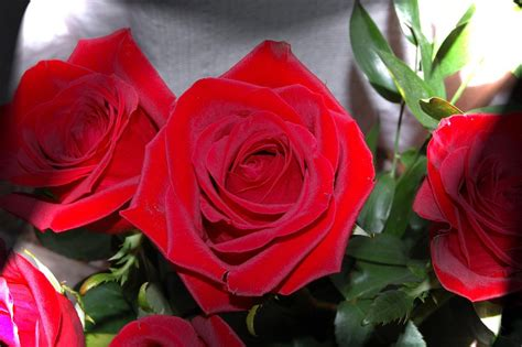foto fiori rosse rosse foto immagini macro e up macro fiori