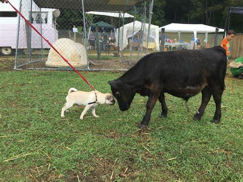 pugs brisbane serendipity farm animal centre brisbane