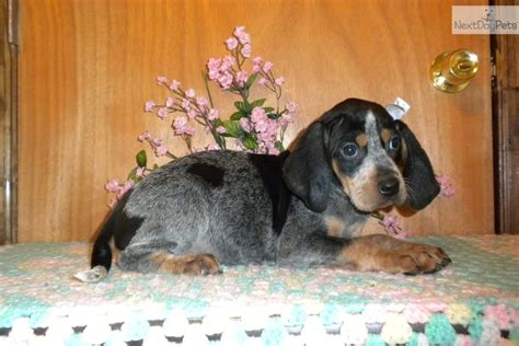 bluetick coonhound puppies for sale fashioned bluetick hounds newhairstylesformen2014