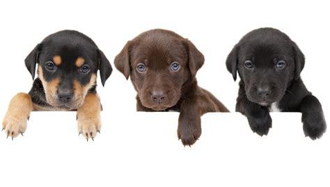do pugs health issues pug health problems health