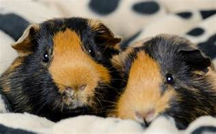 Bedding For Guinea Pigs by Best Bedding For Guinea Pigs Reviews And Tips For