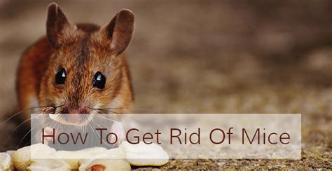 How To Get Rid Of Field Mice In Garage by How To Get Rid Of Mice Finding The Best Mouse Repellent