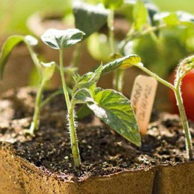 Gardener S Supply Seed Starting 44 Best Starting Tomato Seeds Images On Tomato