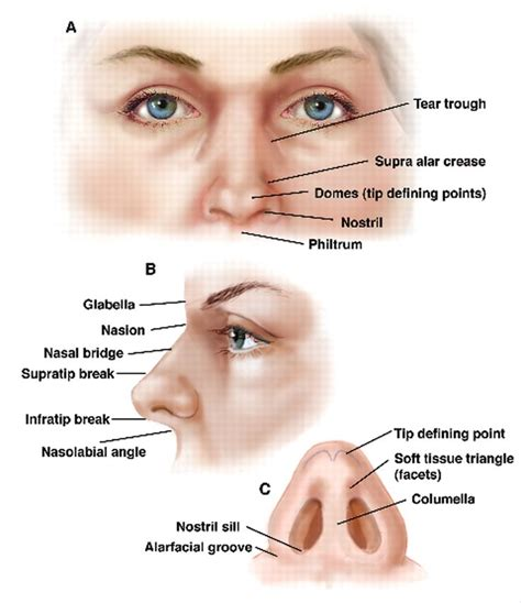 nose anatomy search anatomy reference
