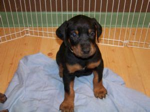 doberman puppies for sale illinois doberman pinscher puppies for sale