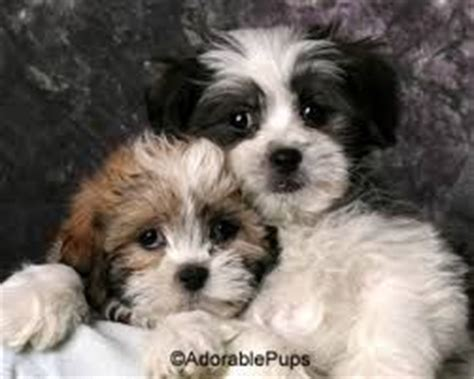 google zuchon haircuts 222 best images about shih poo on pinterest poodles