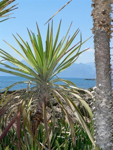 palm results pin small palm trees types image search results on