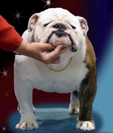 bulldog c section cost akc english bulldog puppies for sale tn tennessee akc