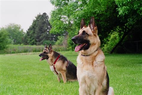 guard breeds guard breeds choosing the best for your family breeds picture