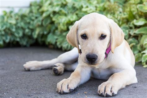 yellow lab puppies near me yellow labrador retriever photo