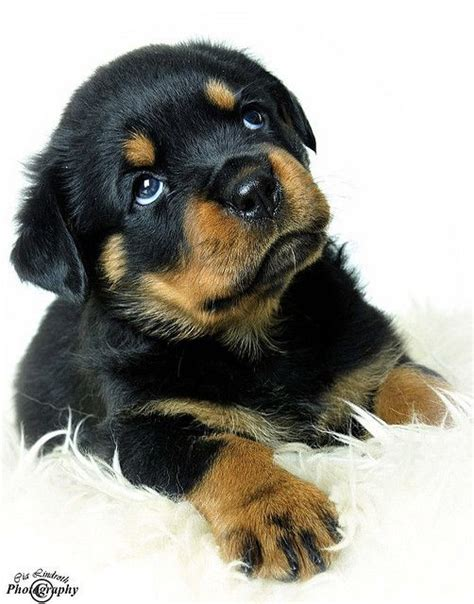 haired rottweiler puppy 25 best rottweiler puppies ideas on baby rottweiler rottweiler pups and