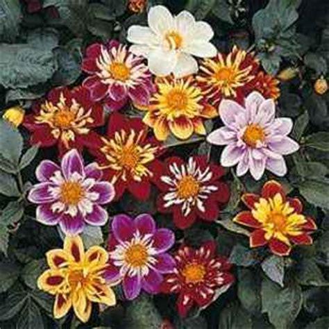 dandy flowers dahlia seeds dahlia variabilis dandy mix flower seed