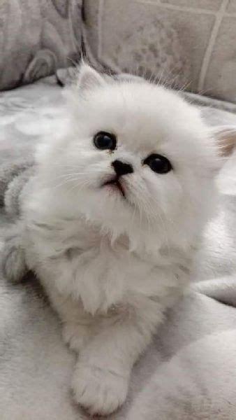 gatti persiani chinchilla in vendita vendita cucciolo persiano da privato a trapani gatti