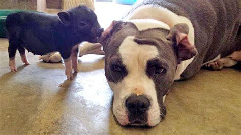 puppy friends pit bull friend wallpaper 1280x720 13983
