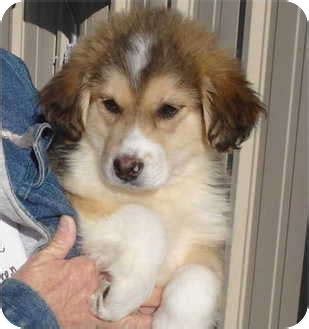 great pyrenees german shepherd mix puppies for sale adopted puppy pisgah al great pyrenees german shepherd mix