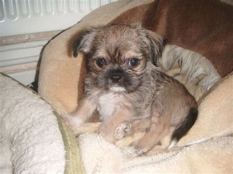 shih tzu chihuahua mix puppies shichi shih tzu chihuahua info temperament puppies pictures
