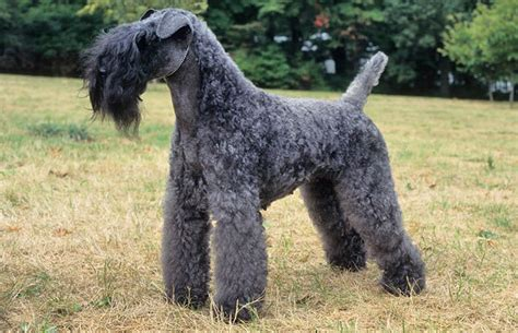 kerry blue terrier puppies kerry blue terrier breed information