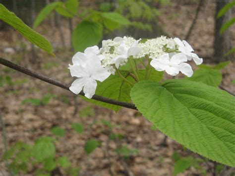 shrub with white flowers inside storey a walk in the woods