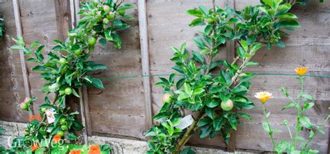 Trellis Fences Growing Fruit And Vegetables In Small Spaces