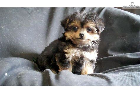 yorkie poo michigan yorkie poo puppies houston breeds picture