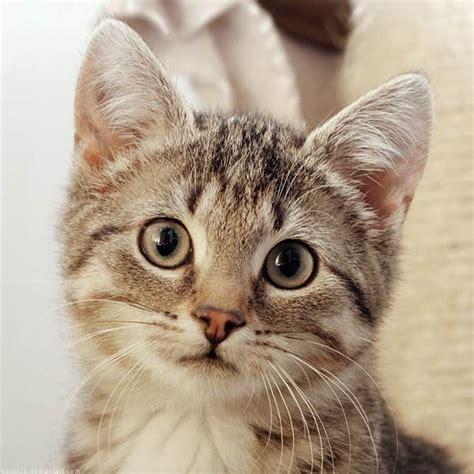 Gambar Foto Kucing Lucu gambar foto kucing lucu anggora imut aktual id