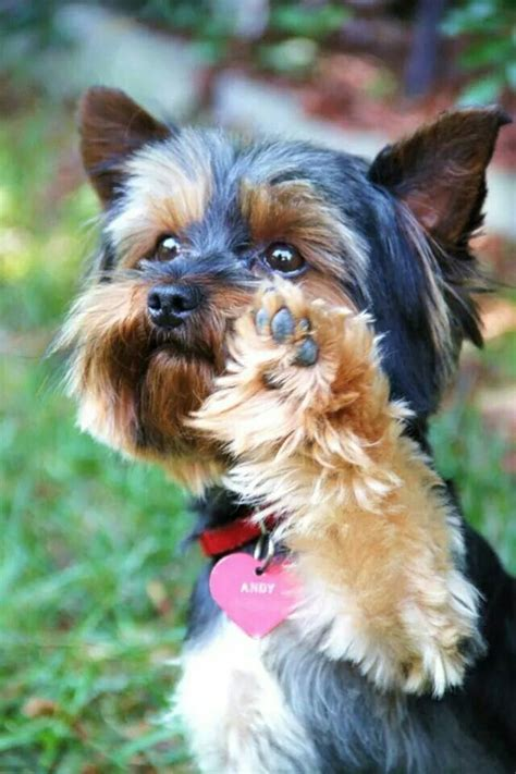 how do yorkies sleep 162 best yorkies and photos images on terriers