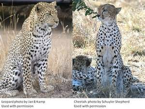 Cheetah And Leopard And Jaguar Differences What Is The Difference Between Leopards And Cheetahs