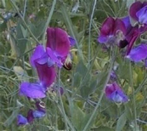 fiore pisello odoroso pisello odoroso lathyrus odoratus piante annuali