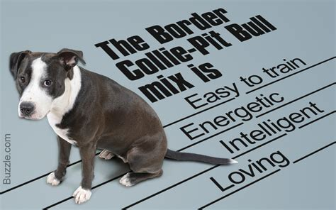 Info Mixer information about the most intelligent border collie pit