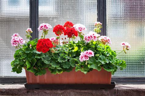 vaso di gerani come coltivare gerani in vaso belli e duraturi non sprecare