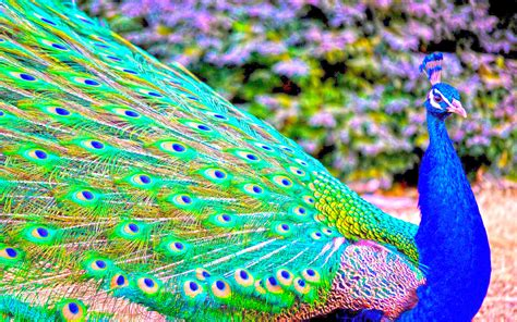 peacock wallpapers peacock bird hd new hd wallpapernew hd wallpaper